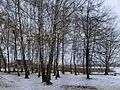 Birches near agrocollege.jpg