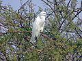 Birds Of Jalmahal Jaipur. 03.jpg