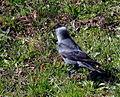 Birds Prešov16Slovakia3.JPG