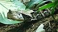 Bitis gabonica rhinoceros (3).jpg