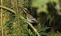 Black-cheeked Warbler (Basileuterus melanogenys) (5771953167).jpg