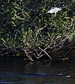 Black-crowned night-heron and passing gator (9149163118).jpg