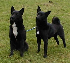 Norwegian Buhund - Two black Buhund.