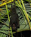 Black Flying Fox.jpg
