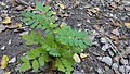 Black Locust Seedling.jpg