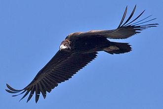 Aegypiinae - Image: Black Vulture 1