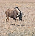 Black Wildebeest (Connochaetes gnou) (32437540692).jpg
