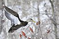 Black duck.BDT1411.jpg