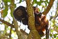 Black lion tamarin Pontal do Paranapanema 7.jpg
