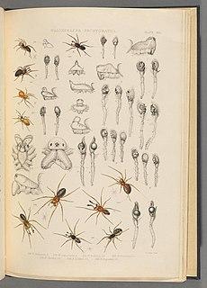 <i>Savignia</i> Genus of spiders
