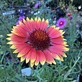 Blanketflower - Gaillardia aristata IMG 6097---.jpg