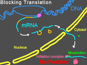 Morpholino - Translation blocked by a Morpholino oligo