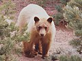 Blond juvenile NM brown bear among pinyons, detail.jpg
