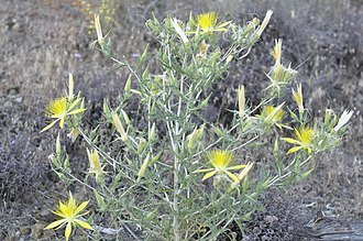 Lava Beds National Monument - Yellow blazing star (Mentzelia laevicaulis)