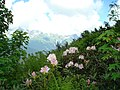 Blossoming rhododendron1.jpg