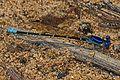 Blue-ringed Dancer - Argia sedula, Ocmulgee boat ramp, Juliette, Georgia.jpg