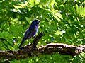 Blue Grosbeak (7395279678).jpg