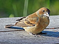 Blue Grosbeak female RWD3.jpg