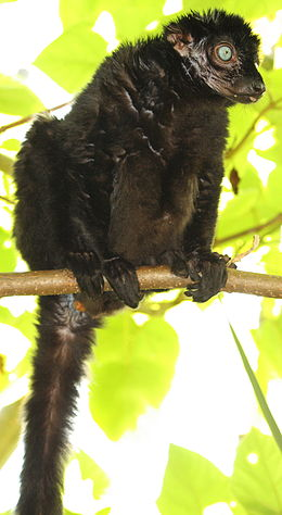 Blue eyed black lemur by Bruce McAdam.jpg
