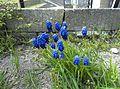 Blue flowers, Malmo, Jin Zan.jpg