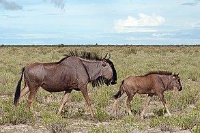 Blue wildebeest (Connochaetes taurinus taurinus) female and calf.jpg