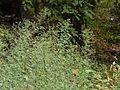 Blumea paniculata (3070593722).jpg