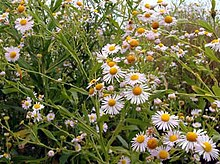 St. Charles County is the only known habitat of the decurrent false aster in Missouri.