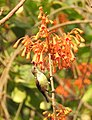 Bonfire Tree Sterculia colorata by Dr. Raju Kasambe DSCN0105 02.jpg