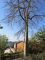 Bormes-les-Mimosas - Ceiba speciosa.jpg