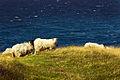 Bornholm - Sheep.jpg