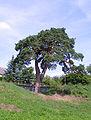 Borovice v Kamenném Újezdě.jpg