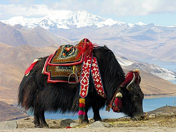 English: Yak near the sacred Yundrok Yumtso La...