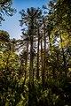 Bosque de araucarias.jpg