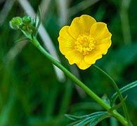 Boterbloem (Ranunculus) 26-04-2020. (actm.) 01.jpg