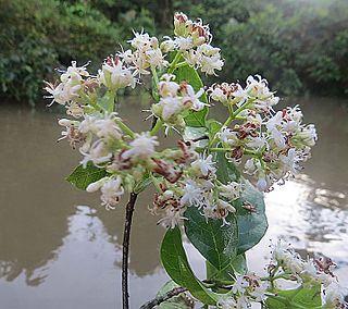 <i>Bothriospora</i> genus of plants