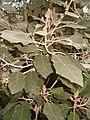 Brachyglottis repanda BotGardBln271207B.jpg