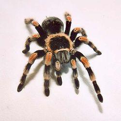 The tarantula Brachypelma smithi