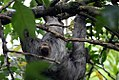 Bradypus variegatus 9zz.jpg