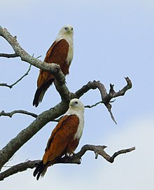 Brahminy Kites at Brisbane River (3085977669).jpg