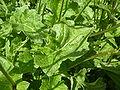 Brassica nigra 'Black Mustard' (Cruciferae) leaves.JPG