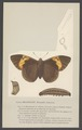 Brassolis - Print - Iconographia Zoologica - Special Collections University of Amsterdam - UBAINV0274 003 01 0013.tif