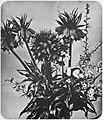 Braun, Adolphe - Blumen (4) (Zeno Fotografie).jpg