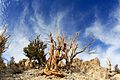 Bristlecone Pine and sky - Flickr - daveynin.jpg