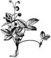 Britannica Wild Strawberry.png