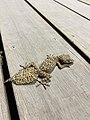 Broad-tailed gecko.jpg
