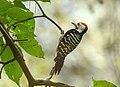 Brown-fronted Woodpecker (Dendrocopos auriceps) (38899720054).jpg