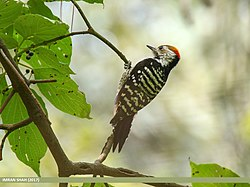 Brown-fronted Woodpecker (Dendrocopos auriceps) (38899720054).jpg