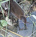 Brown Crake I IMG 9611.jpg