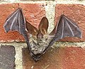 Brown long-eared bat (Plecotus auritus) - geograph.org.uk - 1415552.jpg