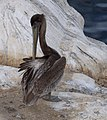 Brown pelican in La Jolla (70637).jpg